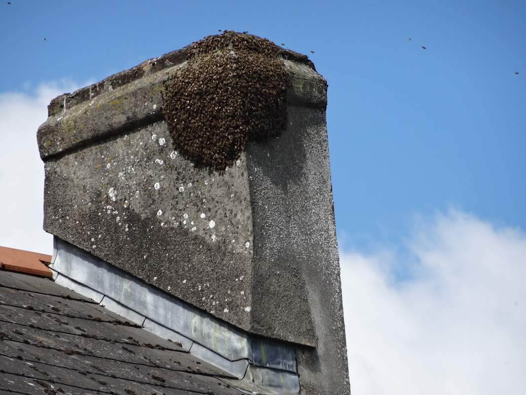 swarm of bees in Athy