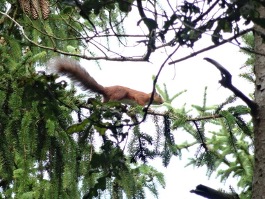 Iora rua (Red Squirrel)