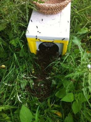 Re homing a swarm of bees into a polly nuc